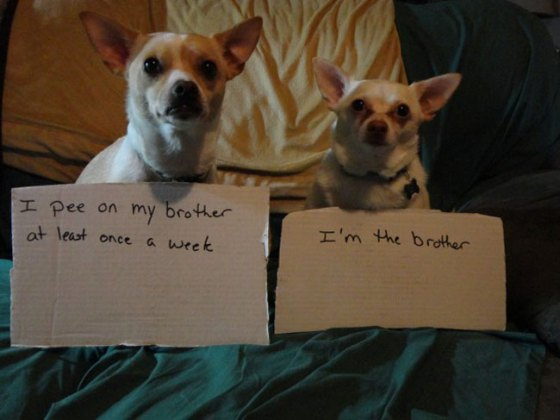 dogs-who-are-shamelessly-proud-of-what-they-just-did-19